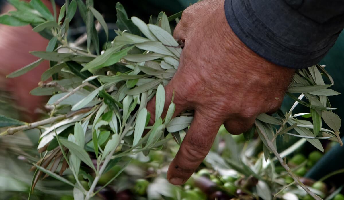 Olive oil Fratelli Valenziani