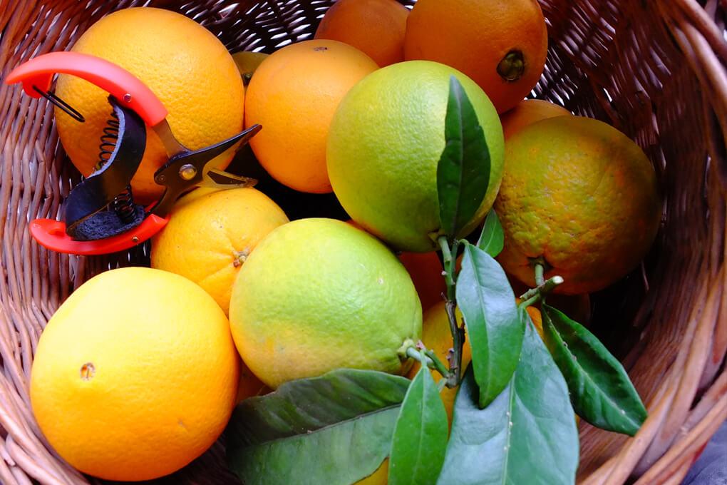 Navelina Oranges