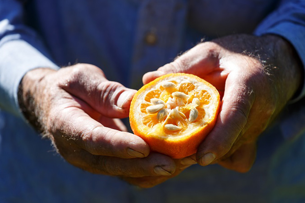 Sour Orangea